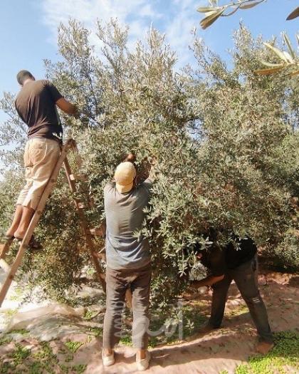 قلقيلية: اطلاق حملة تطوعية وطنية لقطف الزيتون